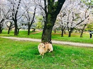 ルビィ 桜.jpg